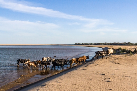 Zebu herd crossing the river near Morombe in southwest Madagascar  photo