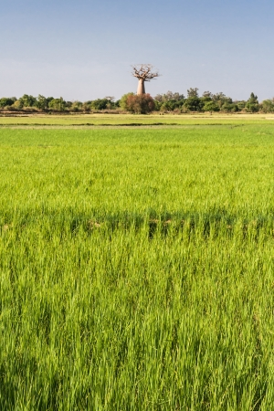Baobab and rice field in the south west of Madagascar photo