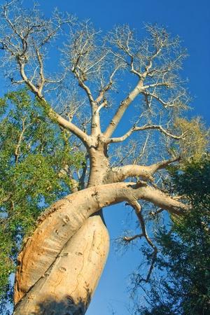 baobab: The lovely baobab near Morondava,  western Madagascar