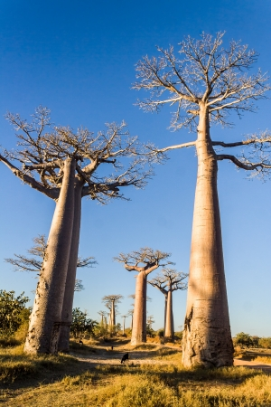 baobab: The Alley  or avenue  of baobabs near Morondava in western Madagascar Stock Photo