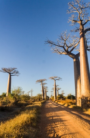 alley of baobabs: The Alley  or avenue  of baobabs near Morondava in western Madagascar Stock Photo