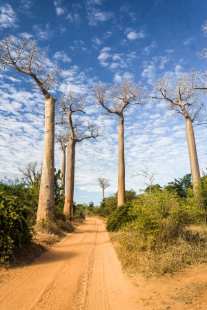 africa tree: The Alley  or avenue  of baobabs near Morondava in western Madagascar Stock Photo