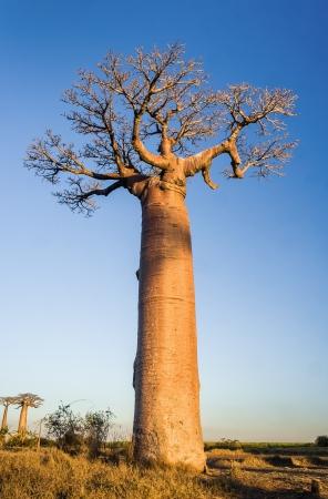 big tree: Sunset on baobab trees near Morondava, western Madagascar