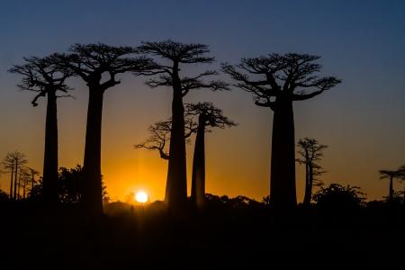 baobab: Sunset on the Baobab Alley of Morondava, western Madagascar Stock Photo