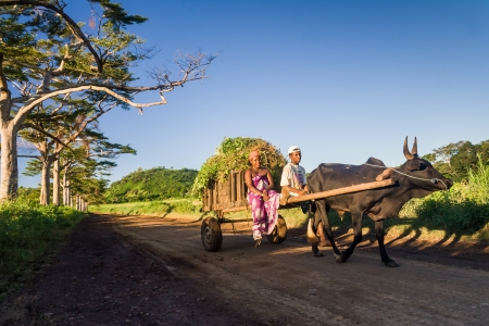 Malagasy couple and zebu cart carrying ylang ylang in Nosy Be, Northern Madagascar on April 8, 2008 Редакционное