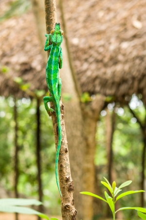 Panther chameleon  furcifer pardalis  of Nosy Komba  Nosy Be , Madagascar photo