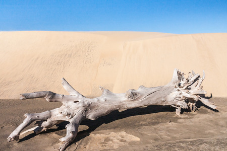 Old tree stump in front of a sand dune photo
