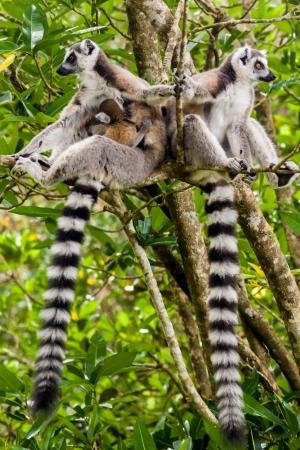 Family of lemur Catta (Maki) in the Nahampohana reserve, Madagascar photo