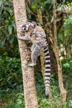Mother lemur Catta (Maki) and his baby in the Nahampohana reserve, Madagascar photo