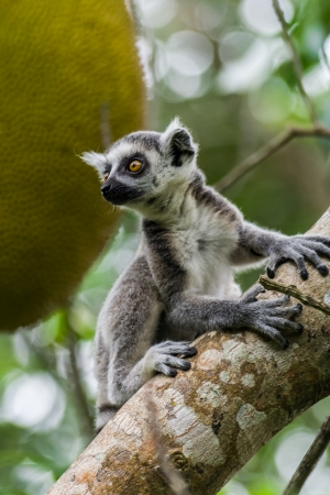 Young lemur Catta (Maki) in the Nahampohana reserve, Madagascar photo