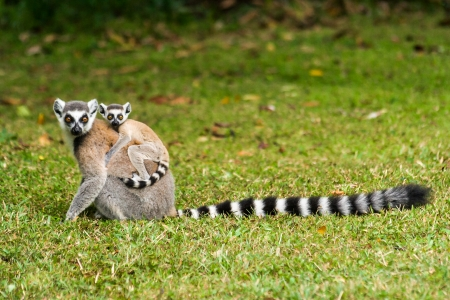 Mother lemur Catta (Maki) and his baby in the Nahampohana reserve, Madagascar