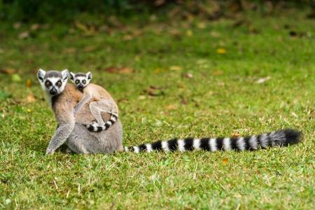 Mother lemur Catta (Maki) and his baby in the Nahampohana reserve, Madagascar