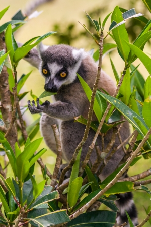 Lemur Catta (Maki) in the Nahampohana reserve, Madagascar photo