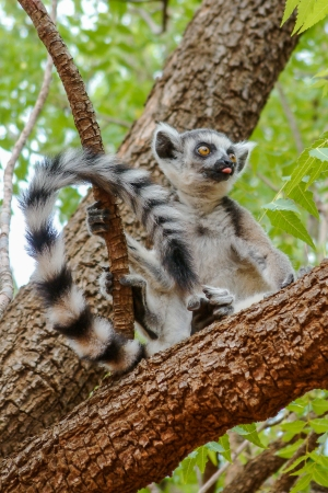 Young lemur Catta (Maki) in the Berenty reserve, Madagascar photo