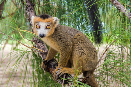 crown tail: Crowned lemur  Eulemur Coronatus , endemic lemur from northern Madagascar