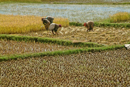 ANTSIRABE, MADAGASCAR - MAY 6: Unidentified farmers planting rice in the field on May 2004, 6 in the highlands of Madagascar Редакционное