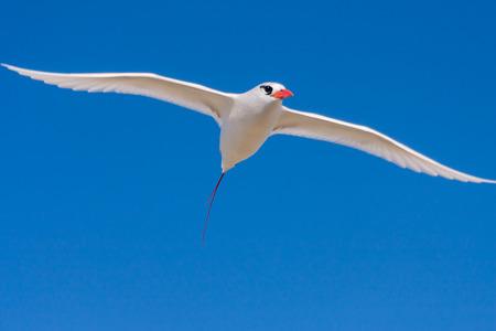 billed: Red-billed tropicbird, seabird of tropical oceans Stock Photo