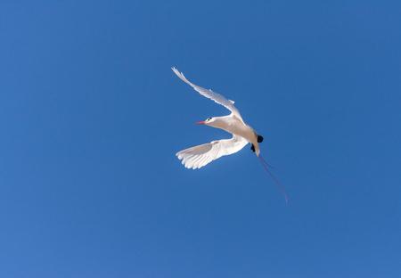 seabird: Red-billed tropicbird, seabird of tropical oceans Stock Photo