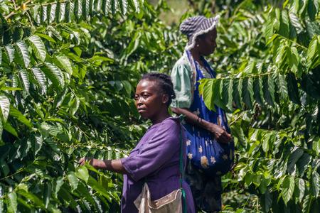 NOSY BE, MADAGASCAR - APR 9: Unidentified malagasy women harvesting ylang-ylang in Nosy Be, Madagascar on apr 9, 2008.