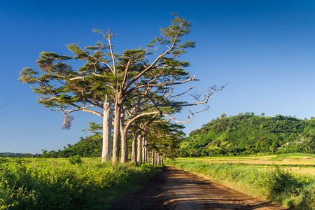 Wonderful avenue of trees in the interior of Nosy Be island, Madagascar