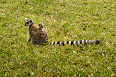 africa child: Mother and baby ring-tailed lemurs (Lemur Catta, Maki mococo) in their natural environment.
