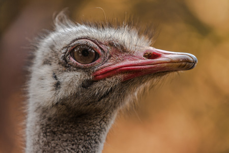 Head of a ostrich (Struthio camelus) photo