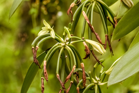 Vanilla planifolia, flowers of Bourbon vanilla of Madagascar. Formation of the bean after drying of the flower Banco de Imagens - 83421292