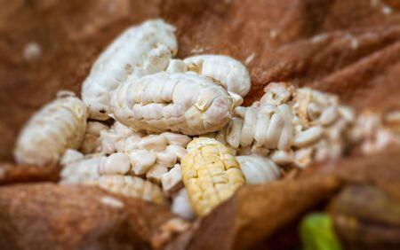 Freshly pelled cocoa beans fro Madagascar before fermentation