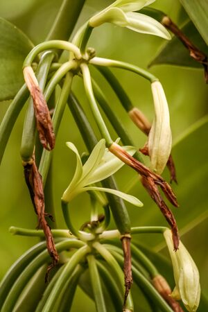 Vanilla planifolia, flowers of Bourbon vanilla of Madagascar. Formation of the bean after drying of the flower