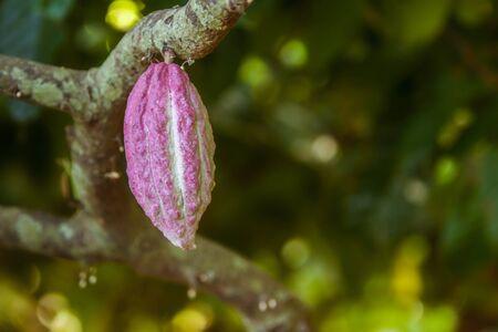 famous industries: Cocoa pod from Ambanja, Madagascar