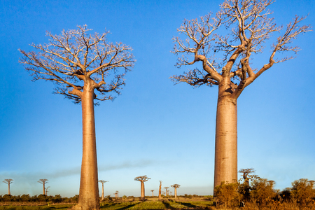Baobabs trees in the savannah of Madagascar Stock Photo