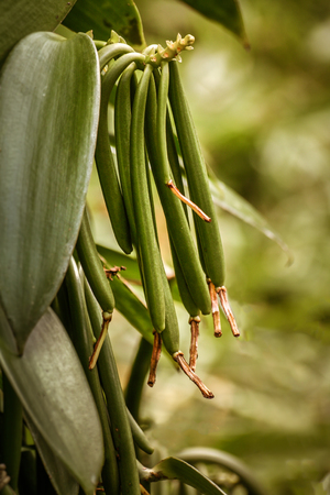 바닐라 planifolia, 마다가스카르의 Bourbon 바닐라 콩. 스톡 콘텐츠