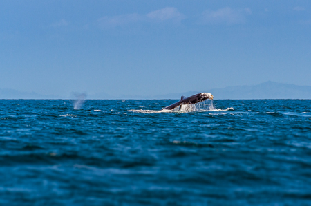 Young humpback whale jumping, tourist attraction in Madagascar during their gestation