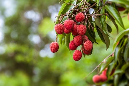 농장에서 나무에 잘 익은 열매 과일
