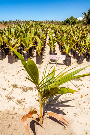 Aligned young plants in an oil palm plantation near Sambava, Eastern Madagascar