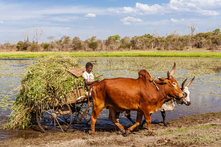 Farmer working with his zebu cart in the plains of west Madagascar on October 28, 2016