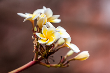 Flowers of frangipani (plumeria), tropical flower Foto de archivo