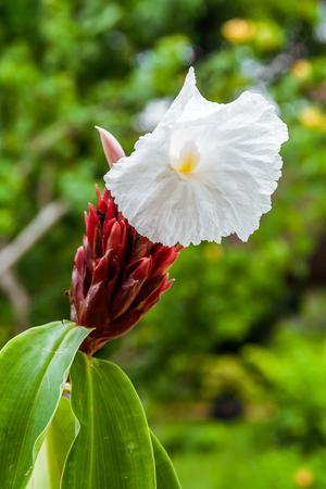 Crêpe ginger (Cheilocostus speciosus), tropical flower from Madagascar