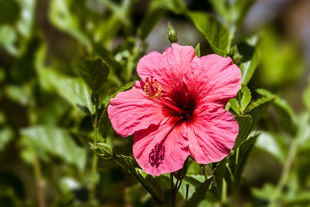 Red Hibiscus , known as rose mallow from tropical gardens