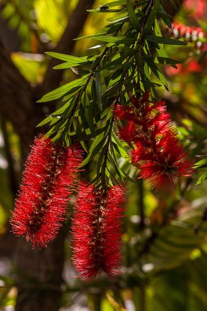 Callistemon, red tropical flower of Madagascar