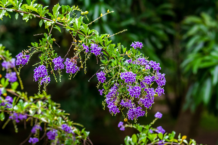 Duranta Erecta, also known as Vanilla tree of Cayenne because the flowers give off a slight fragrance of vanilla.