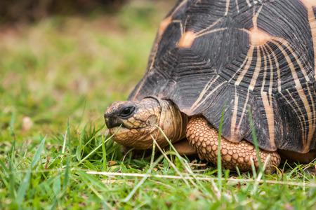 The Radiated tortoise (Astrochelys radiata), endemic of southern Madagascar