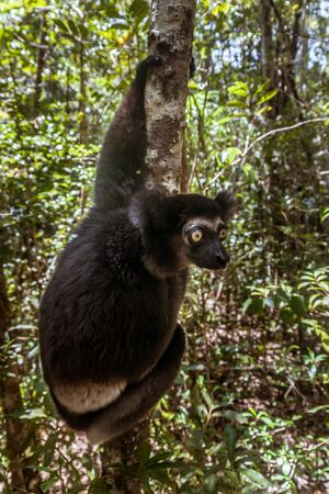 Indri indri, also called the babakoto,  is the largest lemurs of Madagascar