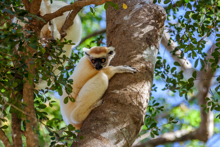 Verreauxs sifaka (Propithecus verreauxi), or white sifaka, endemic lemur of  Madagascar