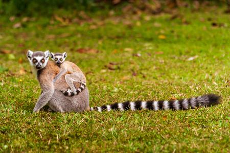マダガスカルの自然の渦中でママと子供キツネザルカッタ(マキモココ) 写真素材