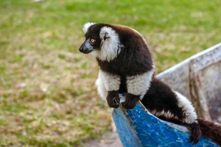 Brown and white lemur Vari (ruffed lemur) in his natural environment of Madagascar Banco de Imagens