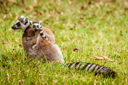 Mom and child Lemurs Catta (Maki mococo) in their natural envoronmant of Madagascar Stock Photo