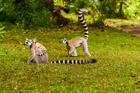 Family of Lemurs Catta (Maki mococo) in their natural environment of Madagascar