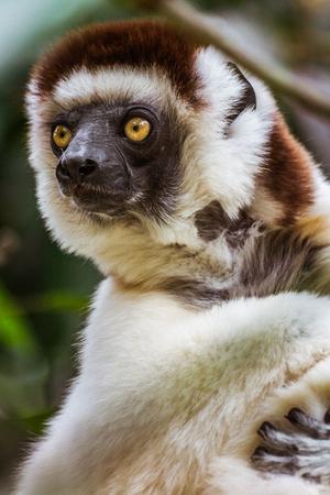 Verreauxs sifaka (Propithecus verreauxi), or white sifaka, endemic lemur of  Madagascar