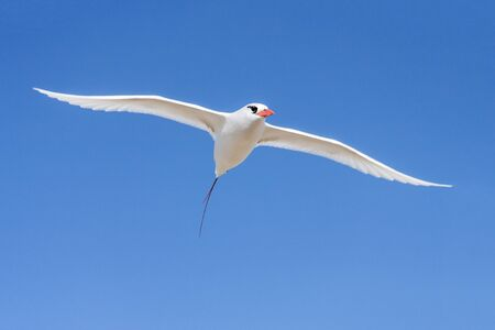 Red-billed tropicbird Paille-en-Queue, seabird of tropical oceans Stock Photo